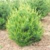 A large number of ordinary Shaanxi Lantian 1.5 meters two Pinus bungeana seedlings of Pinus bungeana