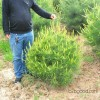 A large number of high-quality Shaanxi 1.5 meters of Lantian pine Pinus bungeana stage of Pinus bung