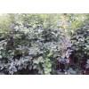 Tassels, crape myrtle, Metasequoia seedlings