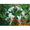Plant raw medicinal herbs saw the effect of the extract of Hubei manufacturers low price promotions