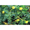 [high quality] total saponin (UV) 90% extract of Tribulus terrestris