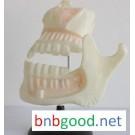 儿童牙列模型 小学科学实验器材 中学生物仪器 教学仪器